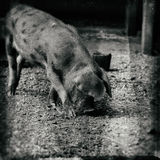 Oxford Sandy and Black piglet brown spotted pig Royalty Free Stock Image