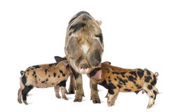 Oxford Sandy and Black piglets, 9 weeks old Royalty Free Stock Photo