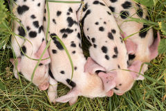 Oxford Sandy and Black piglets from above Stock Photography