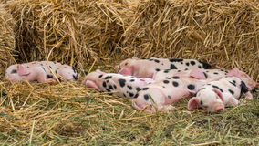 Oxford Sandy and Black piglets asleep Stock Photography
