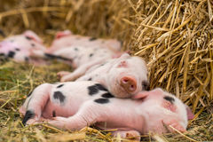 Oxford Sandy and Black piglets sleeping Stock Photos