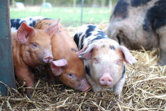 3 Oxford and Sandy Black Piglets Royalty Free Stock Images