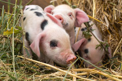 Oxford Sandy and Black piglets in straw Stock Photos