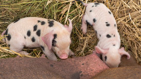 Oxford Sandy and Black piglets suckling from above Stock Photography