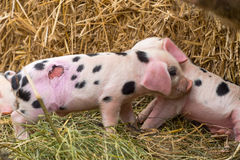 Oxford Sandy and Black piglets with wound Stock Photos