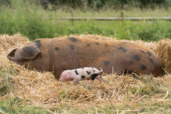 Oxford Sandy and Black sow and piglet Stock Photo