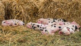 Oxford Sandy e leitão pretos adormecidos Fotografia de Stock