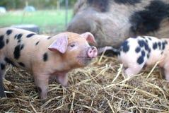 2 Oxford und Sandy Black Piglets Lizenzfreie Stockfotografie
