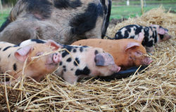 Oxford und Sandy Black Piglets Lizenzfreie Stockfotografie