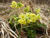 Oxlip flowers in spring on a meadow Royalty Free Stock Images