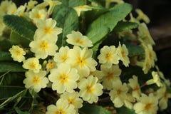 Oxlip kwiaty Na lasowej podłoga - fotografia stock