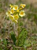 An oxlip in the eastern austrian alps. An oxlip Primula elatior in the eastern austrian mountains stock photography