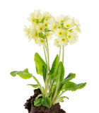Oxlip, Primula Elatior on White Background Royalty Free Stock Photos