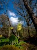 Oxlips在反对春天天空的一块森林地沼地 库存图片