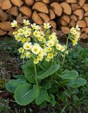 Oxlips in front of a woodpile. Oxlip blooms outdoors in spring in front of a woodpile Stock Image