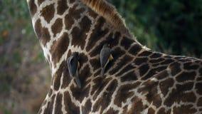 Oxpecker на шеи жирафа в masai mara, Кении акции видеоматериалы