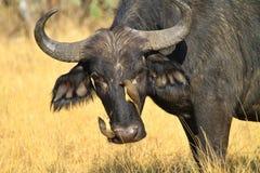 Oxpecker and buffalo Stock Photo