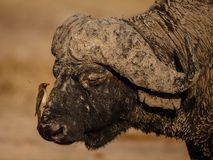 Oxpecker and Buffalo Stock Images