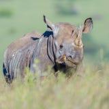 Oxpecker cargado en cuenta rojo en el labio del rinoceronte negro fotos de archivo