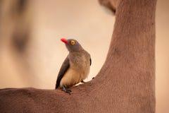 Oxpecker en cuello de los impalas Fotos de archivo libres de regalías