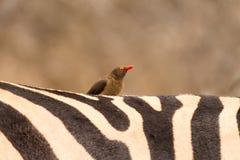 Oxpecker fågel på sebrabaksida Arkivbild