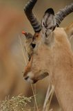 Oxpecker in the Face. This bird is sitting in the face of  a impala Stock Images