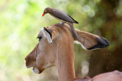 Oxpecker on Impala. Reb-billed Oxpecker, Buphagus erythrorhynchus, perching on head of Impala Antelope, Aepyceros melampus Royalty Free Stock Photography
