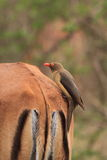 Oxpecker que se sienta en la parte posterior del impala Fotos de archivo