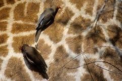 Oxpecker Rojo-Cargado en cuenta imagen de archivo