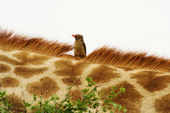 Oxpecker Rojo-cargado en cuenta (erythrorhynchus de Buphagus) en jirafa. Imagen de archivo libre de regalías
