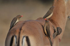 Oxpecker Rojo-mandado la cuenta (erythrorhynchus de Buphagus) Fotos de archivo