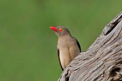 Oxpecker Rouge-affiché Image libre de droits