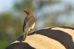 Oxpecker Rouge-affiché Images libres de droits