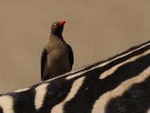Oxpecker sur un zèbre Image libre de droits