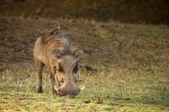 oxpecker warthog Zdjęcie Stock