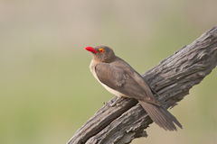 oxpecker wystawiająca rachunek czerwień Fotografia Royalty Free