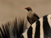 Oxpecker on a Zebra. This bird is sitting on a zebra Royalty Free Stock Images