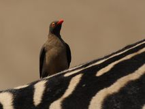 Oxpecker on a Zebra Royalty Free Stock Image