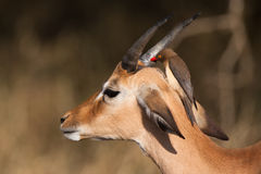 Oxpeckers Royalty Free Stock Images