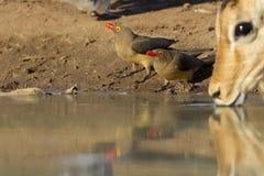 Oxpeckers cargado en cuenta rojo que bebe, Botswana Imagen de archivo libre de regalías