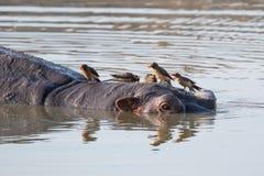 Oxpeckers, das auf einem Nilpferdkopf sitzt lizenzfreies stockfoto