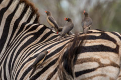 Oxpeckers. A group of Oxpeckers ride along on top of a Zebra Stock Images