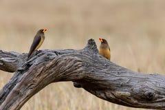 Oxpeckers, Kenia, Afrika stock foto