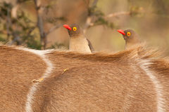 Oxpeckers on kudu Stock Photos