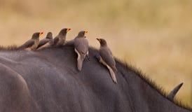 Oxpeckers Rouge-affiché sur un buffle Photographie stock libre de droits