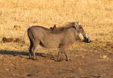 Oxpeckers sitting on a warthog, Namibia royalty free stock images