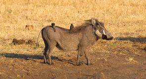 Oxpeckers sitting on a warthog, Namibia royalty free stock photo