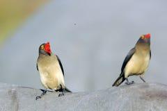 Oxpeckers van Redbilled stock afbeeldingen