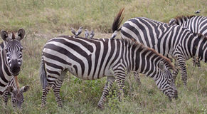 Oxpeckers On Zebra-Back. Small group of oxpeckers hitching a ride on the back of a zebra in the Serengeti national park,Tanzania Royalty Free Stock Photo