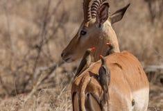 Oxpeckerszitting op Impala royalty-vrije stock foto